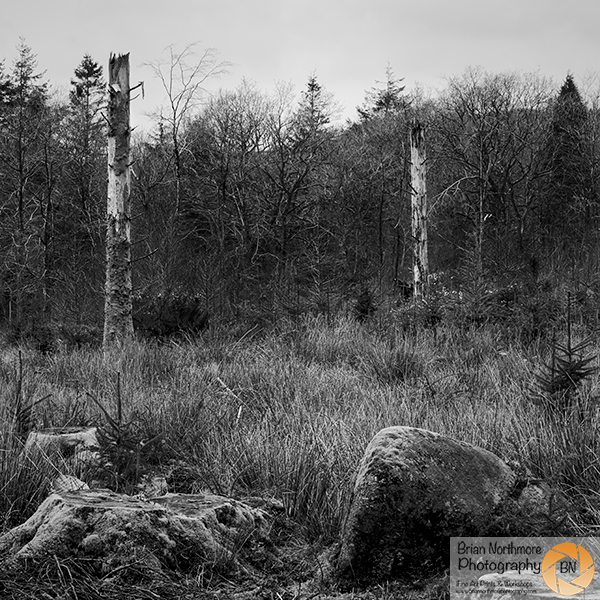 Dead Trees Burrator Plantation
